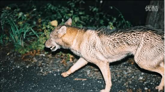 ニホンオオカミかもしれない写真