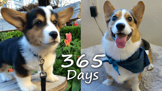 Puppyhood in 365 DAYS: NEW CORGI PUPPY GROWS UP