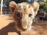 赤ちゃんライオンとイチャイチャした気分になれるGoPro映像