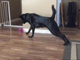 「絨毯から足を離したら負け!」という自分ルールのせいでオモチャが取れない犬