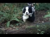 飼い主さんのマウンテンバイクを先導するかのように森の中を疾走するコリー犬の美しい姿を臨場感たっぷりな映像でお届け