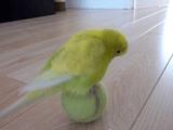 テニスボールで玉乗り遊びをするテニスボールと同じ色のセキセイインコ