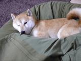 「人をダメにするソファ」でダメになる柴犬