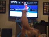 「ボール遊び」が大好きなゴールデンレトリバー犬がテレビの「テニス中継」を観るとこうなる