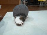 「やどかり戦法」が裏目に出て顔をしこたま蹴られる猫のまるちゃん