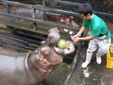 長崎バイオパークのエサやりイベント企画=「カバのスイカまるごとタイム」が豪快