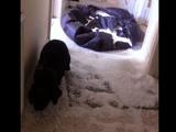 いたずらがバレて最高に申し訳なさそうな登場の仕方をする犬のジャスパー