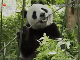 NHKスペシャル <ホットスポット 最後の楽園 season2> 第4回 「天空の秘境 パンダの王国 ~中国 南西山岳地帯~」