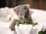 コアラの赤ちゃんを撮影したビデオがもう完全に「動くぬいぐるみ」