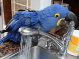 水浴びは豊富な水量で楽しみたいインコのアイリスさん vs 周りがビショビショになるから適度な水量でお願いしたい飼い主さん