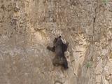 ロッククライミングするクマの親子