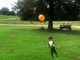 「風船を下に落としたら負け!」という自分ルールを設定してリフティング遊びをする犬