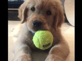 テニスボールで遊んでいたら歯にひっかかって「ん?ん?ん? あれ?」ってなる子犬