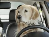 「運転中に美女を目で追っていたら助手席の奥さんに怒られた・・・。」 を、ワンコで再現