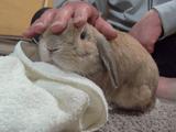 もっと撫でて欲しくて「おねだりダンダンウー」を連発するウサギ