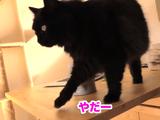 飼い主さんのクシャミに激しく抗議する猫のしおちゃん