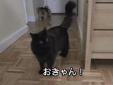 ネコみたいな鳴き声を連発してたら飼い主さんから「猫みたい」と指摘されたもんだから、ちょっとムキになって「しおちゃん語」を喋りまくる、しゃべる猫のしおちゃん