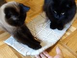 小さい絨毯に乗って遊ぶ猫のしおちゃん