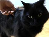 飼い主さんから背中の寝癖を指摘されて 「た~こ~」っていう猫のしおちゃん