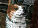 なんて可愛いの・・・。何としてでも撫でてもらおうと網に顔を押し付けて「さわって!」とアピールするコーギー犬