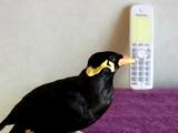 声がリアルすぎる!かかってきた電話に「よそゆきの声」で応対する九官鳥のあべちゃん