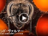 思わず息を呑む生後21日間のミツバチの姿/アナンド・ヴァルマー