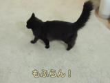 飼い主さんの帰宅が遅いのでプリプリ怒る猫のしおちゃん「こんにゃろ、ばかやろう、もふらん!」