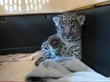ジャガーの赤ちゃん「疲れたのでこれ以上遊べません。」と、右手で「stop」する仕草が可愛すぎる