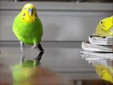 セキセイインコが走って来る。ただそれだけの映像なのに、スローにするとこんなにカワイイ!