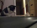 何だコレ?はじめて見るルームランナーを理解しようと、とりあえず猫パンチを浴びせるネコのペッパーちゃん
