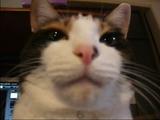 パソコンモニタの前で「なでなで待ち」をしている猫のユッケちゃん