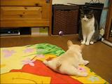バレリーナにも負けないレベルの開脚をしながら、大人の猫に戦いを挑むフレンチブルドッグの赤ちゃん