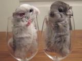 ワイングラスにすっぽり入って鼻をヒクヒクさせながら見つめ合う2匹のチンチラ