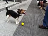 ボクこのボールで遊んでほしいんだ!いいかい?説明するからよく見てて!と言わんばかりの賢い犬