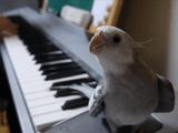 「となりのトトロ」を歌うオカメインコのぽこちゃん