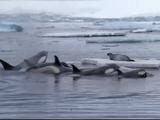 NHKスペシャル <フローズンプラネット> 第1回 「氷の王国の生きものたち」
