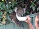 あまりの暑さで民家の庭先に野生のコアラがあらわれる事案が発生/コアラ「あちぃから、お水くだちゃい」