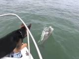 ボートを走らせていたらイルカたちが寄ってきたので、我慢できずに海に飛び込んじゃったシェパード犬
