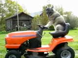 トラクターに乗って芝刈りをする犬