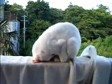 土下座しながら寝てたネコ