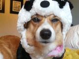 犬「解せぬ」/パンダの洋服を着させられて不服そうなコーギー