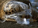 オランダではカモメの胃から95%の確率でプラスチックが見つかり、ドイツではプラスチックから滲み出た科学成分が動物の繁殖器官に影響を与えることが分かった