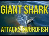 大物のカジキが釣れた!と思ったら何か変・・・。ぎゃあああ!サメが食いついてる!