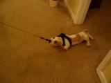 まだ家から一歩も出たことがない子犬が「今から散歩に行くわよ♪」と言われた時のリアクションが最高にカワイイ