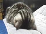 「ごめん寝」謝るようにして眠るネコ