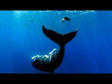 すごい映像!大きな足ヒレを付けたビキニ美女3人が、野生のクジラと泳いでいる!それを「GoPro」で撮影!