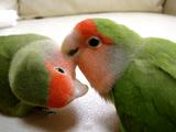 ハミハミ♥する度に、ちゅっちゅ♥で愛情確認する、コザクラインコのぴぴちゃん(♀/左)と、ぴ~ちゃん(♀/右)のラブラブいちゃこら映像