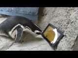 iPadの猫用ゲームで遊ぶペンギンが可愛い