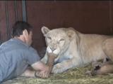 ライオンから信頼されまくっている男性、ケビン・リチャードソン(Kevin Richardson)