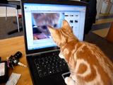 PCの中で遊ぶ自分の映像に興味津々なネコ